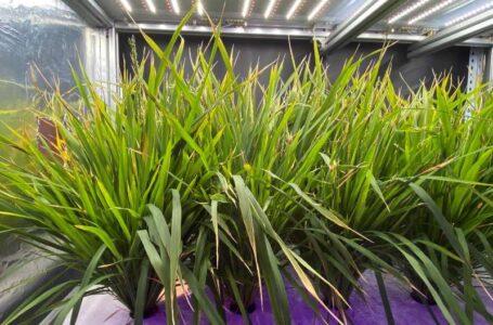 Plantas de menor porte reduzem o ciclo produtivo  (Foto: Xinhua)