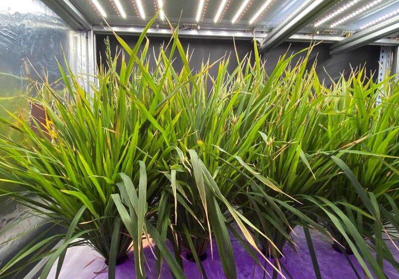 China reduz pela metade o ciclo de crescimento das plantas de arroz