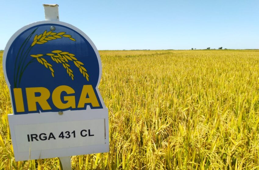 A produtividade do arroz irrigado no Rio Grande do Sul