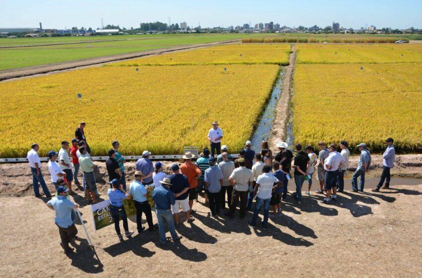 Conab destaca cultura do arroz no Boletim da Agricultura Familiar