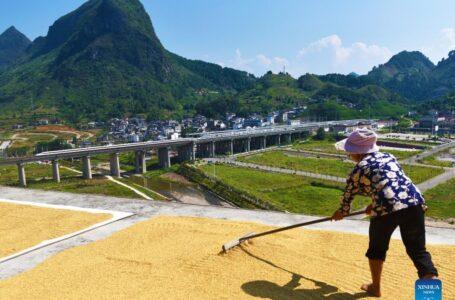 Ásia concentra mais de 88% da produção global de arroz. (Foto: Xinhua)