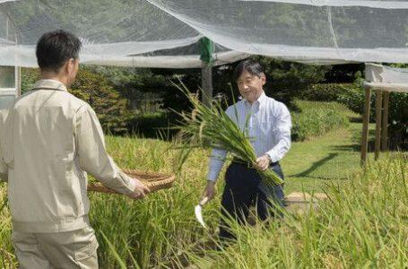 Naruhito em celebração de colheita de 2019. (NHK).