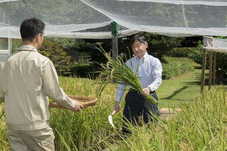 Japão: Imperador colhe arroz no Palácio Imperial