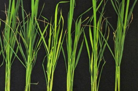 Microbioma do arroz é fundamental para descobrir formas de resistência neste ambiente (Divulgação)