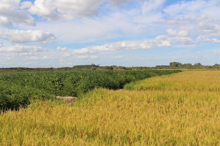 Municípios gaúchos com maior área de soja em terras baixas