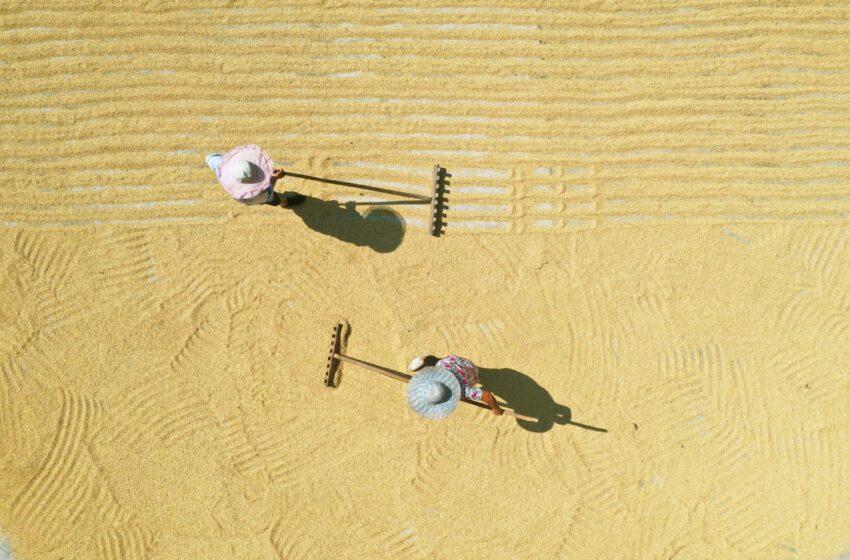 Tecnologia reduz pela metade o ciclo de crescimento do arroz