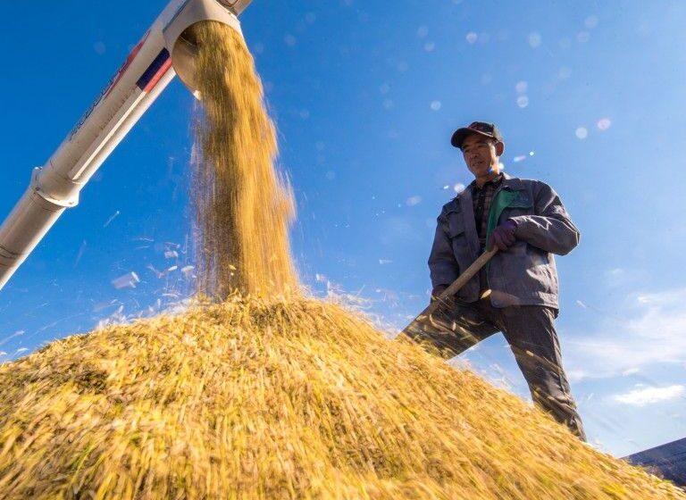 Novo declínio dos preços mundiais do arroz