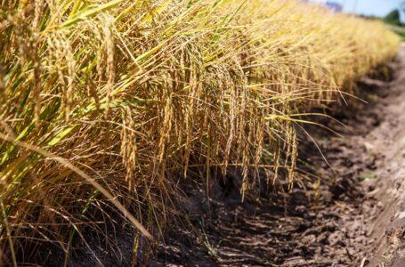 Produção de arroz no Rio Grande do Sul (Fagner Almeida)