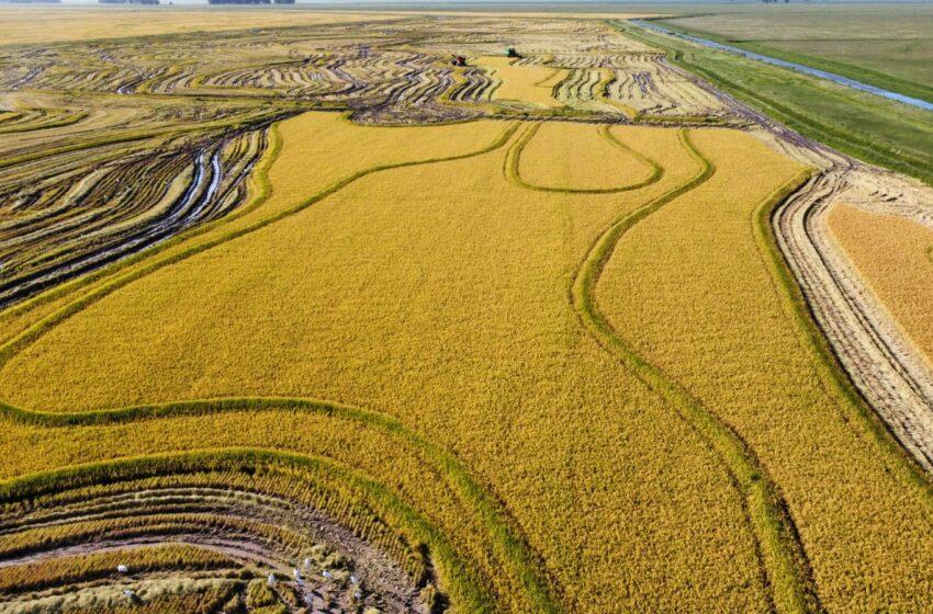 El arroz tiene una importancia de destaque en la economía del país