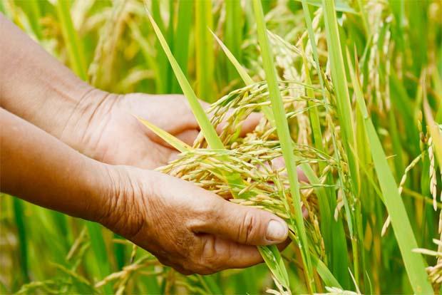 USDA revisa para baixo os estoques finais de arroz dos EUA