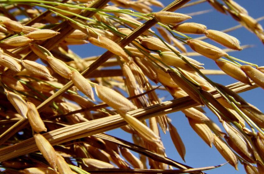 Domesticação e perfil das espécies de arroz