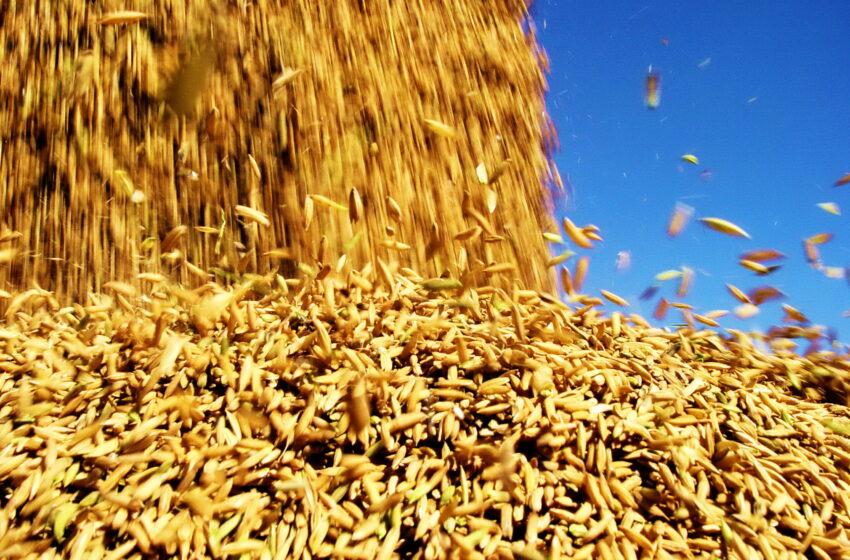 Com safra de arroz quase no fim, RS colhe ótimos resultados