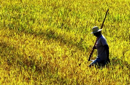 Conab projeta novamente uma boa safra de arroz no Brasil (Foto: Robispierre Giuliani)