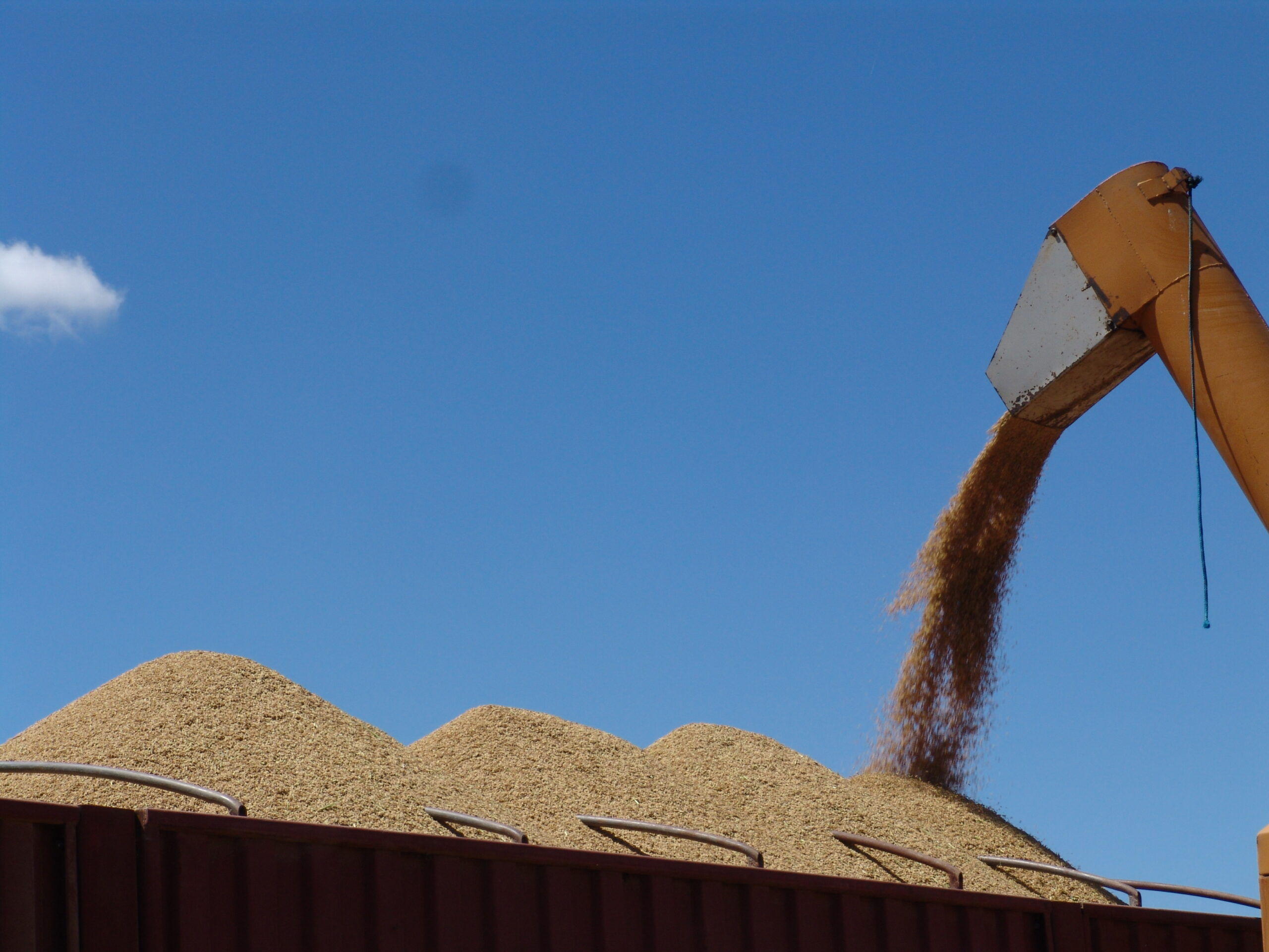 Grãos longos vão dominar aumento da oferta norte-americana. Foto: Robispierre Giuliani/Planeta arroz