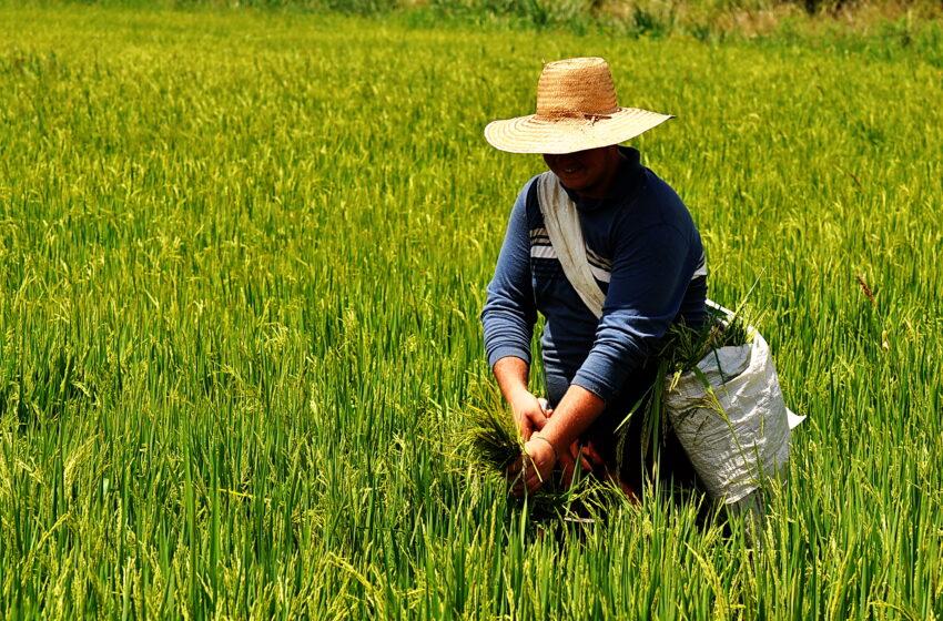 Conab informa safra de 11,63 milhões de toneladas de arroz em 2020/21