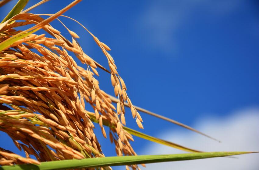 Mercado mostra mais fluidez. Preços firmes ao arroz gaúcho