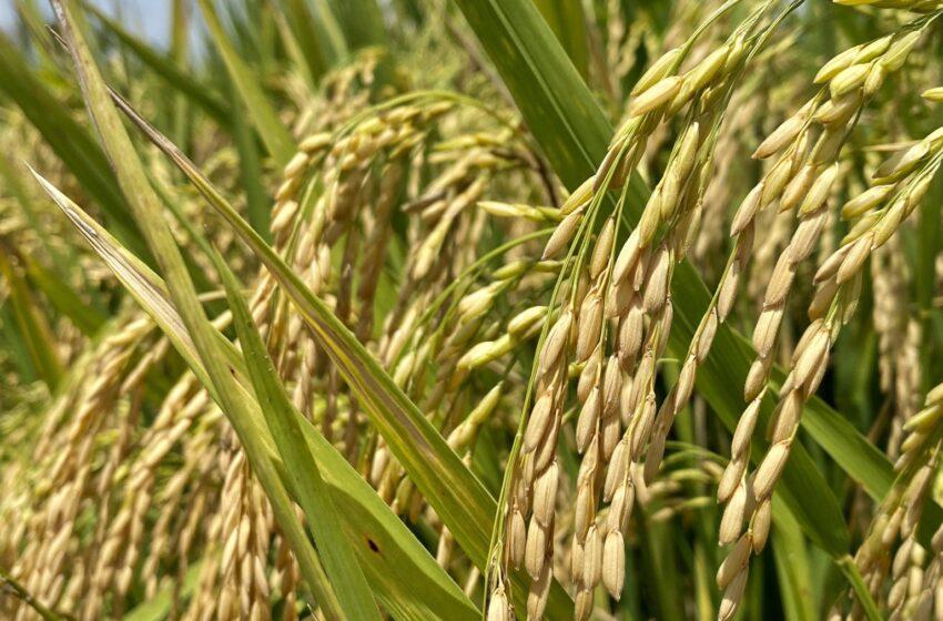 Relatório do Cepea marca pequenas altas dos preços do arroz