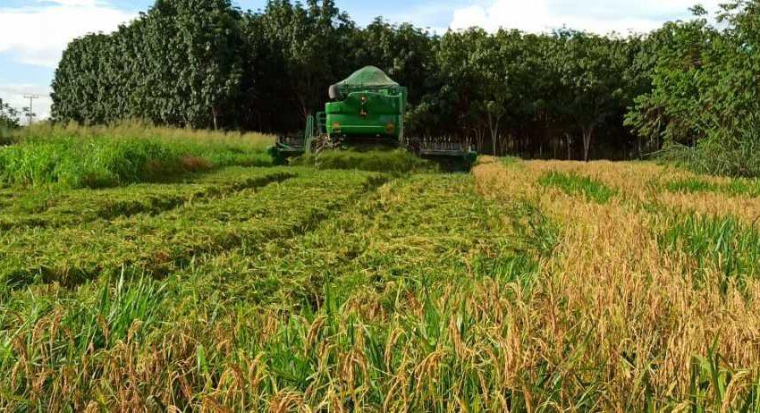 TO e parceiros colhem experimentos de arroz consorciado com forrageiras