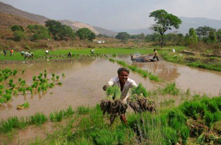 Um trabalhador joga mudas de arroz enquanto outras pessoas as plantam em outro campo em Karjat, Índia, 1º de março de 2016. REUTERS / Danish Siddiqui