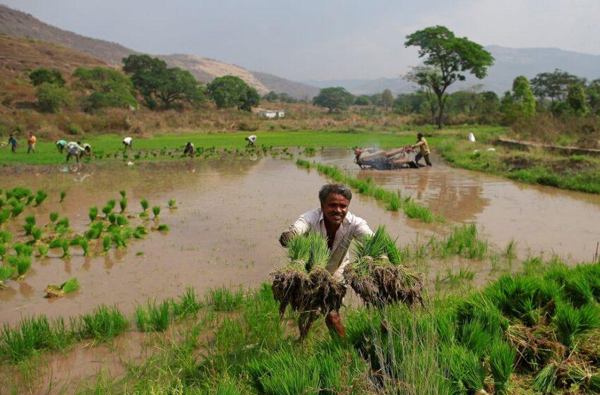 Atraso do plantio preocupa para a produção de grãos da Índia