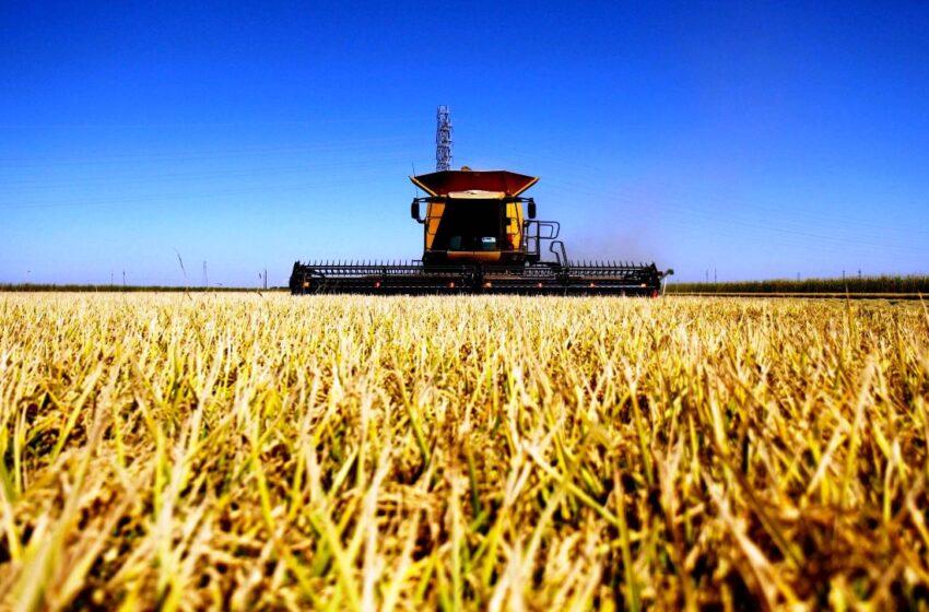 O consumo global de arroz aumenta enquanto a produção dos EUA diminui