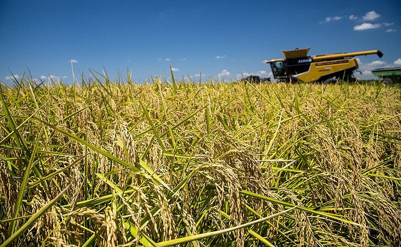 Mercado de arroz: queda de preços com a força do dólar