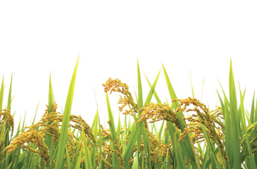 Produção de arroz na Tailândia se recupera da seca