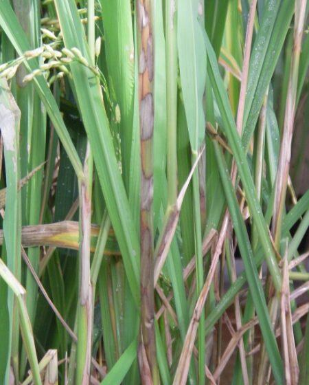 Aumento da queima da bainha em arroz de terras altas
