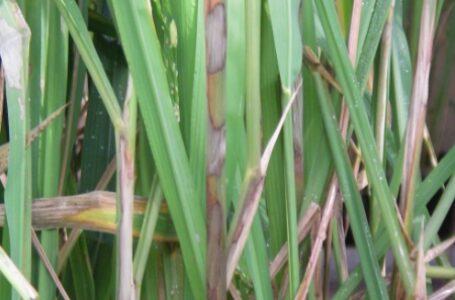 Valácia Lobo – Sintomas ocorrem geralmente nas bainhas e nos colmos