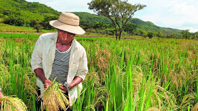 Preços mundiais do arroz com tendências mistas