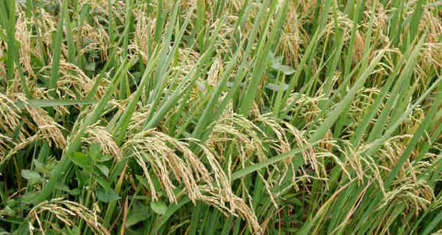 Com sobra, arroz não repete demanda de 2020 e produtores já pensam em escoar para ração