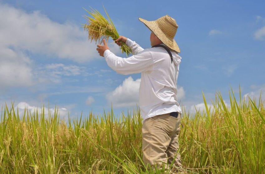 Cuba se volta para a Colômbia visando aliviar a sua escassez de arroz