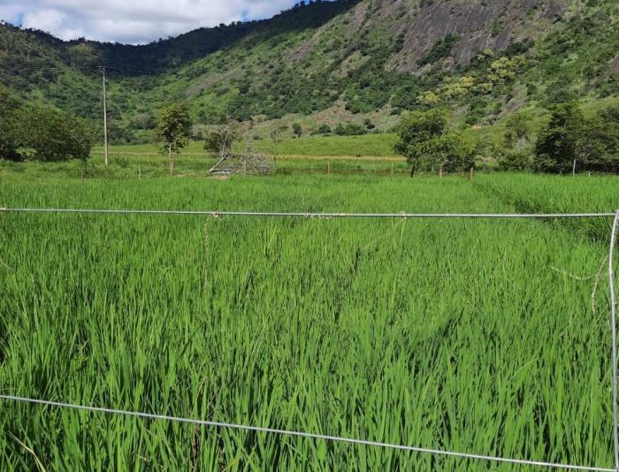 Epamig resgata cultivar de arroz de várzeas para o Leste de Minas