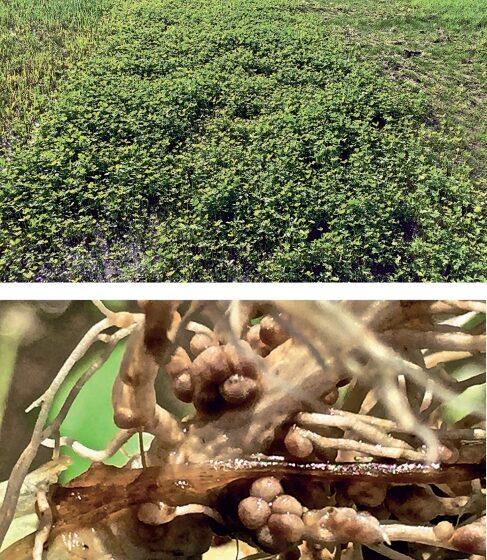 Trevo persa: alternativa como fonte de nitrogênio para produção de arroz irrigado no RS