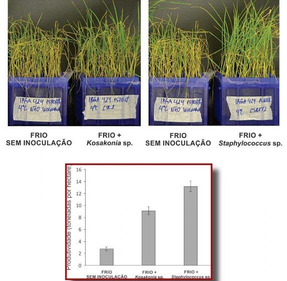 Bactérias benéficas aumentam a produtividade e a tolerância ao frio em arroz