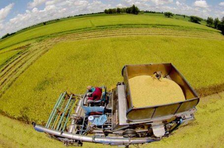 O arroz é colhido em um campo na província de Phitsanulok. (Foto: Taweechai Tawatpakorn)
