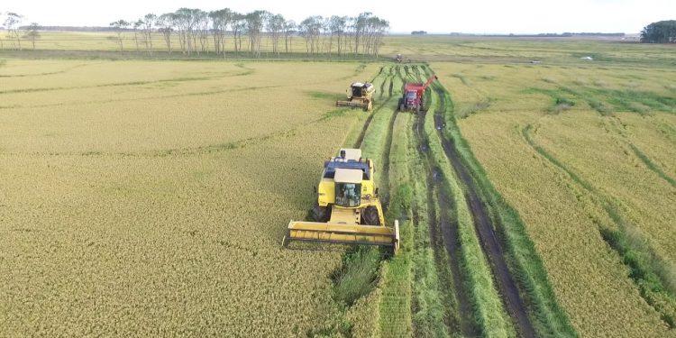 Cifra recorde: este ano o Uruguai produziu 1.309.355 toneladas de arroz