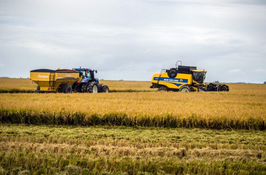 Cosecha de arroz supera el 95% del área nacional en Uruguay