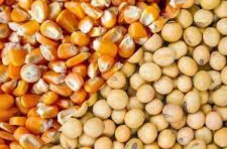 Milho e soja entram no radar do governo em busca de alternativas para produção de rações
