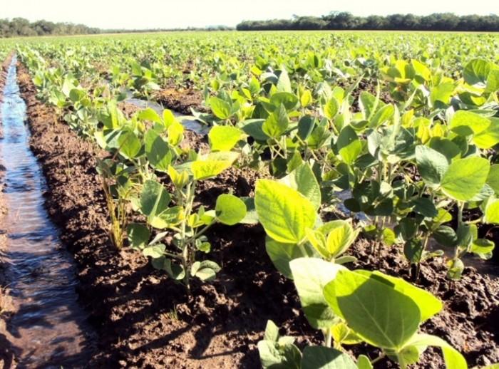 Soja em áreas de arroz cresceu 205% em dez anos