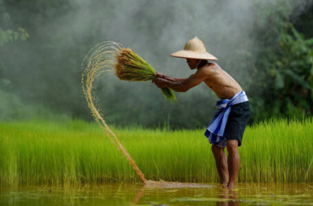 Arrozeiros da Tailândia estão conseguindo colher safra melhor (Foto: Divulgação)
