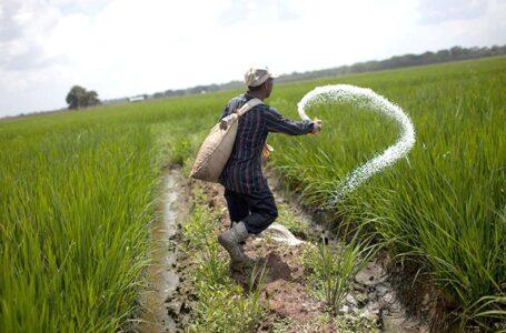 Produtor aplica N na lavoura de arroz. (Foto: Crónica)
