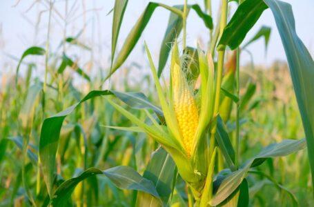 Produção do milho no RS será muito boa apesar dos problemas pontuais com estiagem e enfezamento