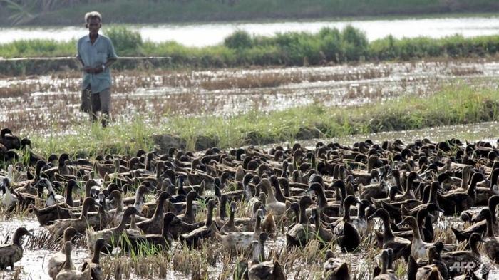 Os patos limpam as pragas dos arrozais na Tailândia e recebem uma ração grátis em troca