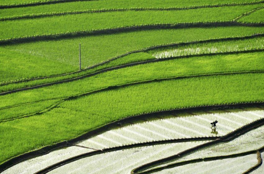 História do arroz