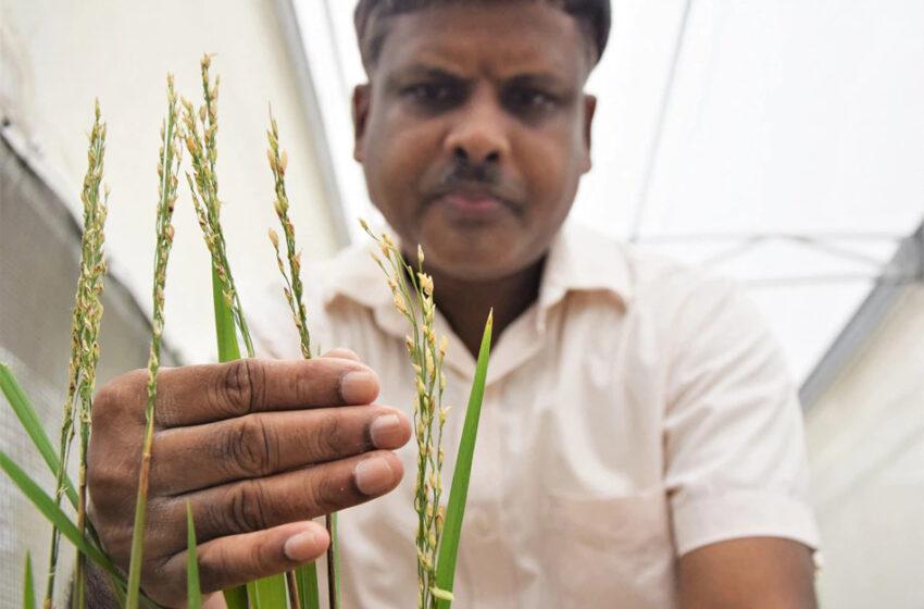 Filipinas aprova arroz dourado OGM para produção comercial