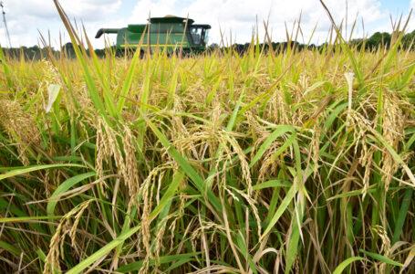 Colheita do arroz na Louisiana. (FOTO: Divulgação)