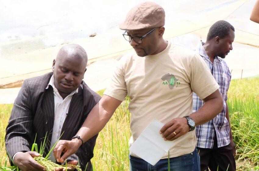 Quênia iniciará a produção comercial de arroz híbrido e reduzirá as importações